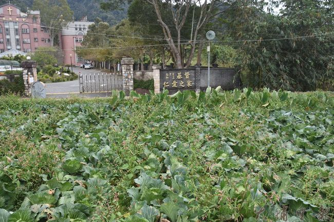 高麗菜園位置在埔里鎮福興路146巷48號(埔里基督仁愛之家正對面)。(金城嚴 攝)