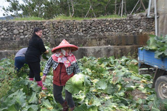 魏姓菜農的家人、親戚們都前往幫忙採收,運送到路口方便民眾挑選。(金城嚴 攝)