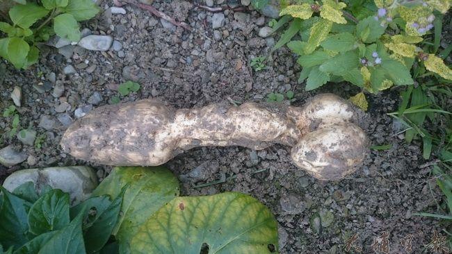 埔里青年農民詹羽辰除草時,挖出狀似男性生殖器的地瓜。(詹羽辰 提供