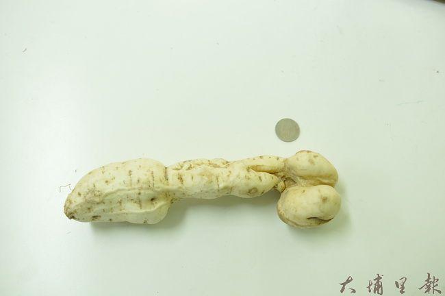 埔里青年農民詹羽辰挖出狀似男性生殖器的地瓜,以5元硬幣作為比例尺,更可看出尺寸雄偉。(詹羽辰 提供)
