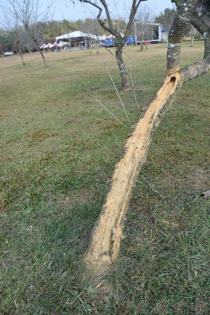 遭到啃食的櫻花樹,樹皮脫落、枝幹中空搖搖欲墜。(金城嚴 攝)