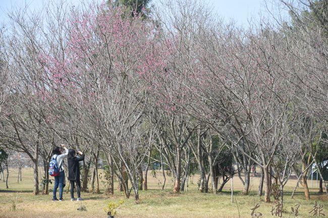 遊客忍不住用相機捕捉含苞待放的櫻花林,期待櫻花的盛開。(金城嚴 攝)