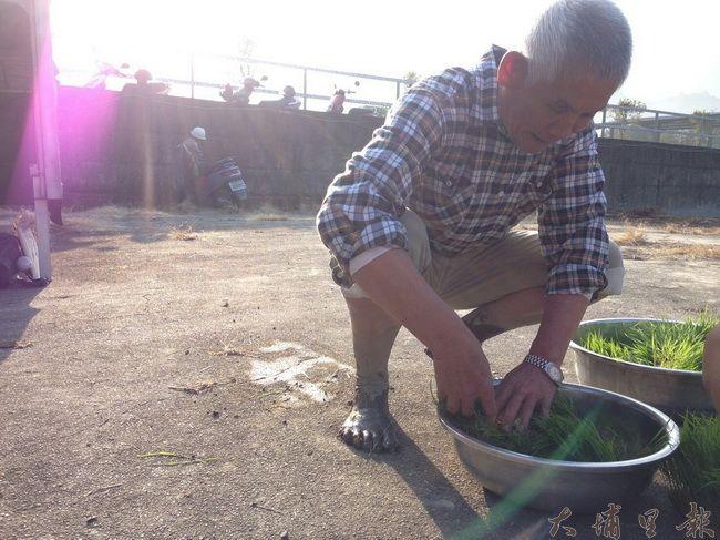 理想生活達人賴大哥,正梳理著待會要插下去的秧苗。(穀笠合作社提供)