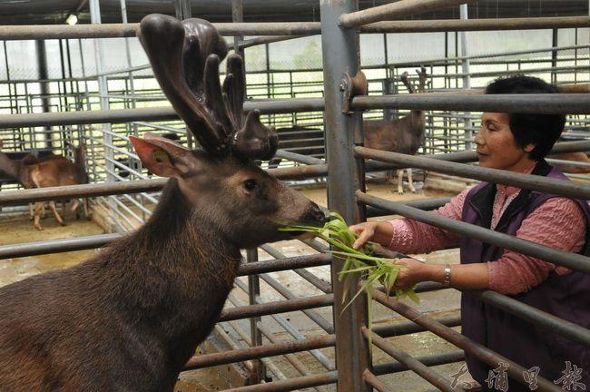 國姓鄉是台灣水鹿的原鄉,養殖產業主要集中在南港村,每年三、四月是剪鹿茸的季節。(柏原祥 攝)