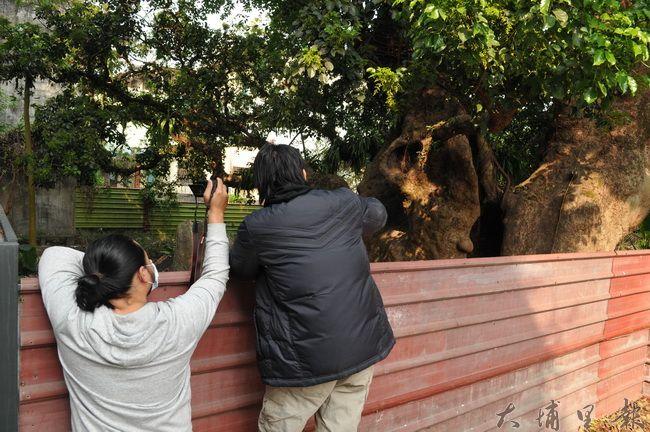 樹木學教師林暐翔(右)觀察茄苳樹王公健康情形,並提出治療的方法。(柏原祥 攝)