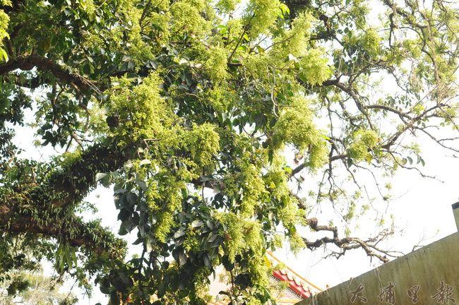 茄苳樹王公疑似因感受到生命遭到威脅,開出異常大量的花序。(柏原祥 攝)