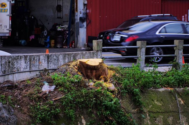 埔里鎮育英橋頭高大的鳳凰木遭到砍除,滿樹紅花景象只剩追憶。(陳里維 攝)
