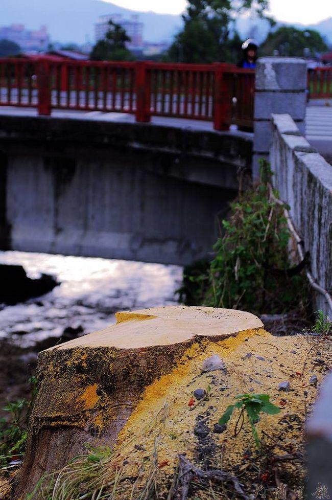 埔里鎮育英橋頭高大的鳳凰木遭到砍除,只剩光禿的主幹,滿樹紅花景象只剩追憶。(陳里維 攝)