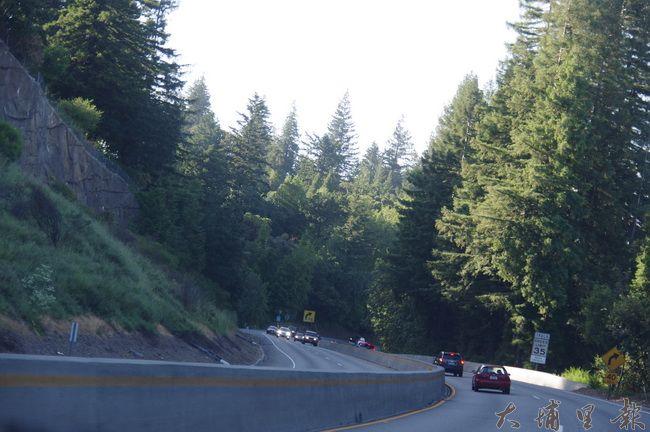 加州即使高速公路旁,也能見到高度超過30公尺的大樹。(陳里維 攝)
