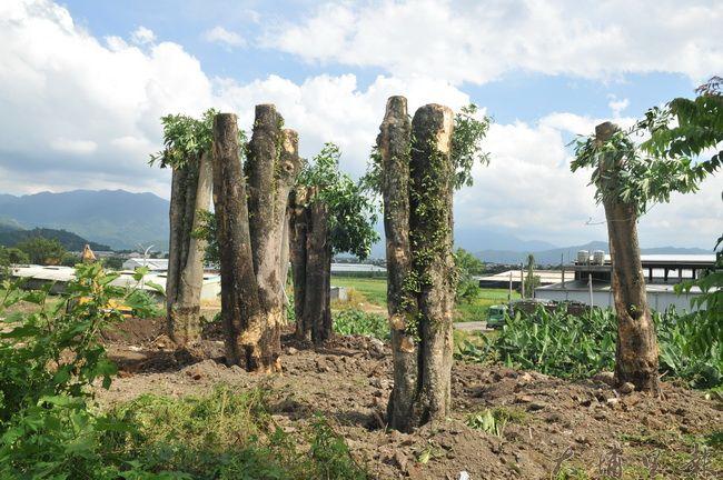 埔里鎮公所委託包商開挖,將南安路黑板樹移植至福興里九二一環保公園。(柏原祥 攝)