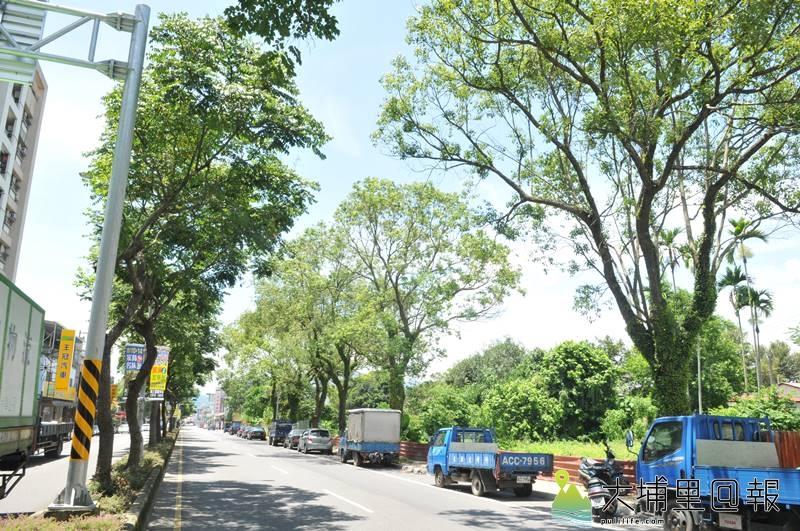 埔里鎮公所為改建信義路人行道,要移植60棵老樟樹(右),引起鎮民的反彈。(柏原祥 攝)