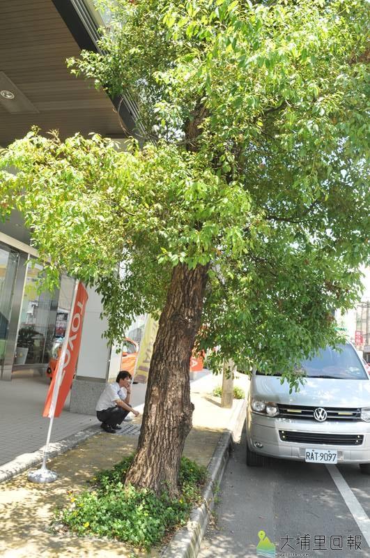 埔里鎮公所為改建信義路人行道,要移植60棵老樟樹,圖為某汽車展售中心員工在樹蔭下講電話。(柏原祥 攝)