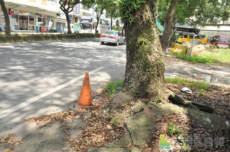 埔里鎮公所以樹根隆起破壞人行道為由,要移植埔里鎮信義路60多棵老樟樹,但樹木專家指出,隆根現象係因樹穴過小又水泥化所致。(柏原祥 攝)