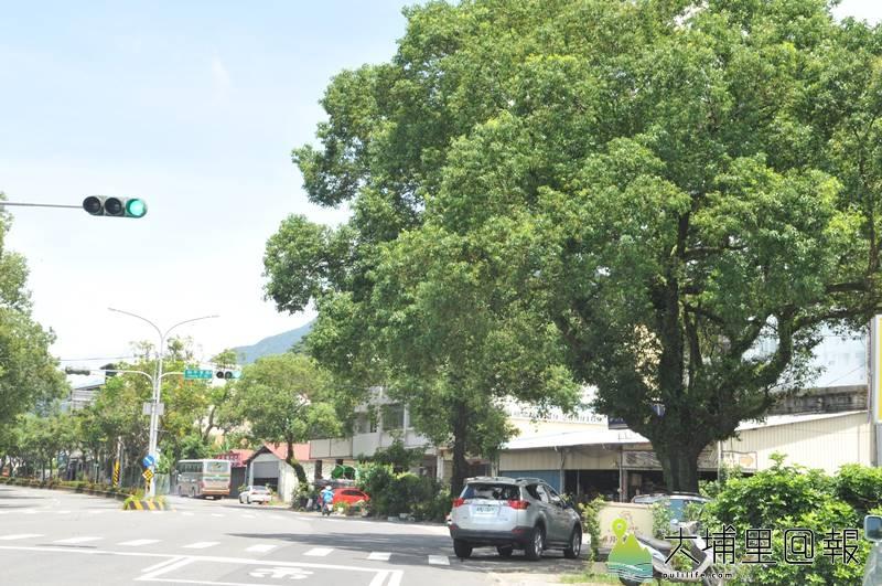 埔里鎮公所以樹根隆起破壞人行道為由,要移植埔里鎮信義路60多棵老樟樹,圖為多棵老樹已成蔭。(柏原祥 攝)