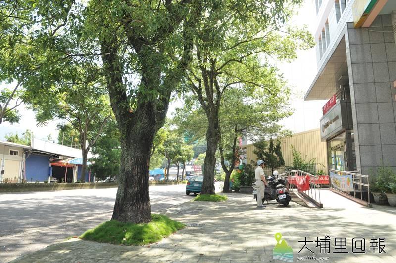 埔里鎮民代表何惠娟以信義路台電營運所人行道前樟樹為標竿,只要用心規劃工程,行人絕對能保有綠意與安全的人行空間。(柏原祥 攝)