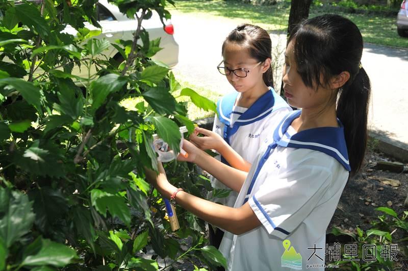 宏仁國中陳抒函(右)、施旻妏(左)以壺蜂研究為題,榮獲全國中小學科展第一名,圖為她們測量捲葉下垂角度,瞭解母壺蜂如何判斷哪片葉子有獵物。(柏原祥 攝)