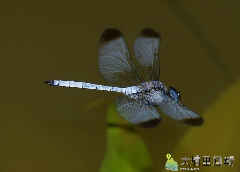 灰影蜻蜓首次在桃米社區被紀錄,生態攝影家李榮芳拍攝到牠飛行時清楚的英姿。(圖/李榮芳提供)