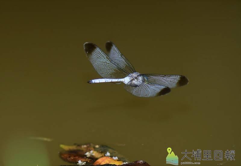 灰影蜻蜓首次在桃米社區被紀錄,因牠晨昏活動,不喜停棲,拍攝難度甚高,生態攝影家李榮芳拍攝千張,終於拍到牠飛行時的清楚身影。(圖/李榮芳提供)