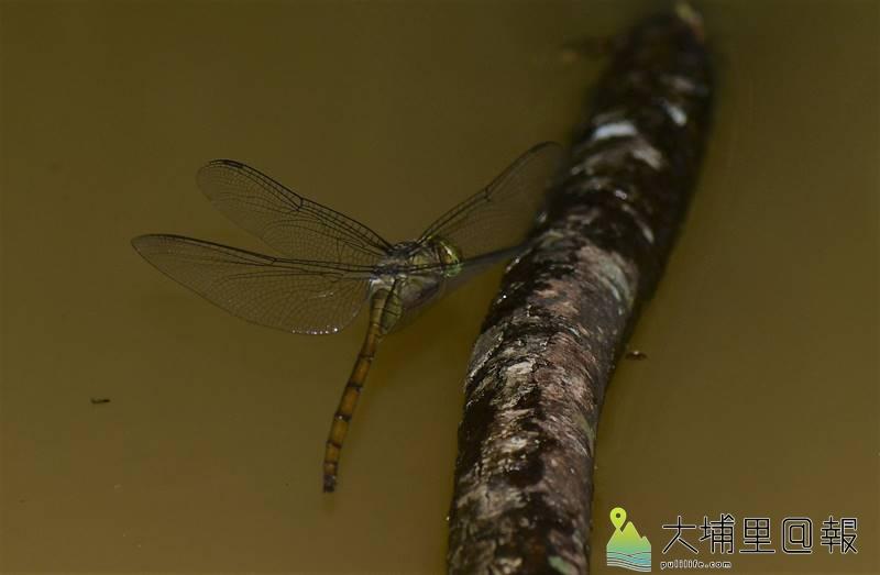 灰影蜻蜓首次在桃米社區被紀錄,因牠晨昏活動,不喜停棲,拍攝難度甚高,生態攝影家李榮芳忍受潮濕與蚊子,蹲了3天終於拍到牠飛行時的清楚身影,圖為雌性個體。(圖/李榮芳提供)