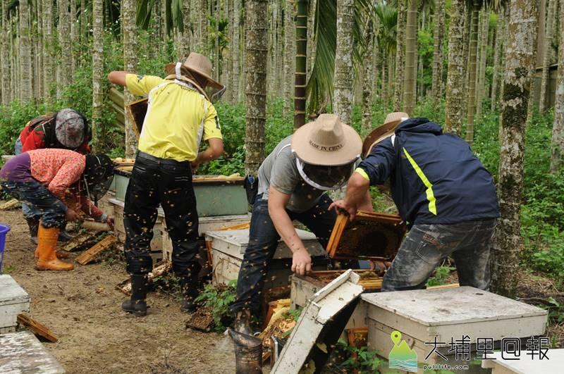 農藥施用氾濫,造成蜜蜂族群大量縮減,養蜂人的生計也愈來愈艱困。(柏原祥 攝)