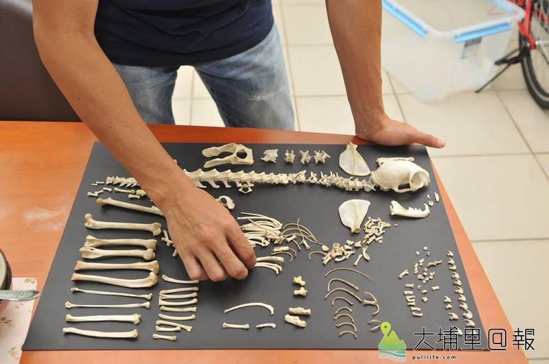 暨大通識教育中心講師劉明浩處理石虎屍體,從屍水與爛肉中分離出骨骼。(柏原祥 攝)
