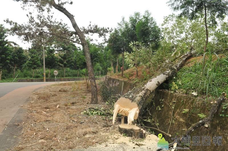 埔里鎮長周義雄派員至虎頭山砍樹,砍到南投林管處埔里事業區96林班地的樹,林管處表示要依《森林法》查辦。(柏原祥 攝)