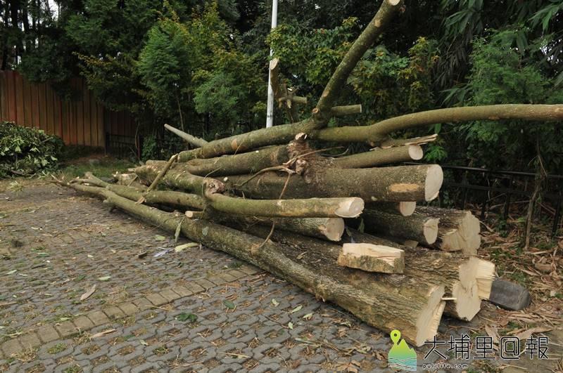 埔里鎮長周義雄派員至虎頭山砍樹,砍到南投林管處埔里事業區96林班地的樹,樹木暫時堆放在停車場,林管處表示要依《森林法》查辦。(柏原祥 攝)