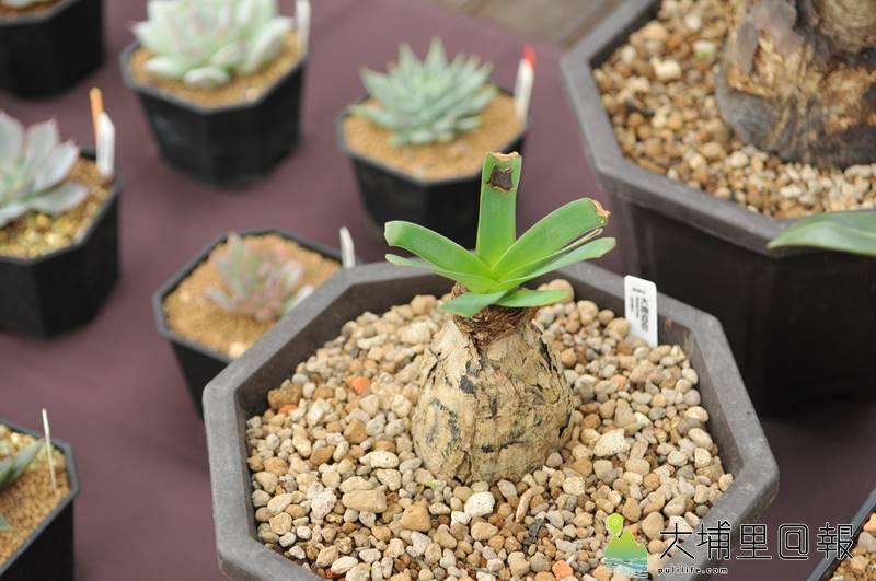 埔里鎮首度舉辦多肉植物市集,達人為每個盆栽命名相當有趣,圖為「大地百和」。(柏原祥 攝)