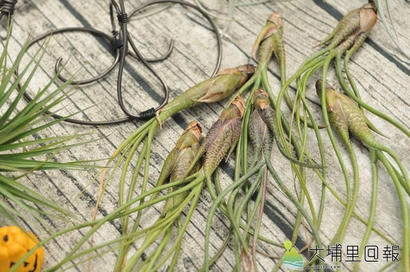 埔里鎮首度舉辦多肉植物市集,達人為每個盆栽命名相當有趣,圖為空氣鳳梨「斑點章魚」。(柏原祥 攝)