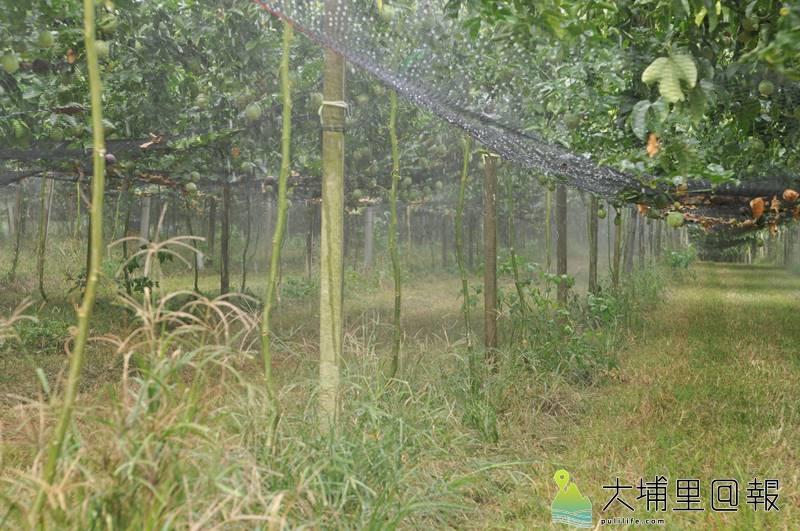埔里鎮大坪頂納入南投農田水利會灌溉區,圖為通水後,農民以能高大圳用水噴灑百香果的情形。(柏原祥 攝)