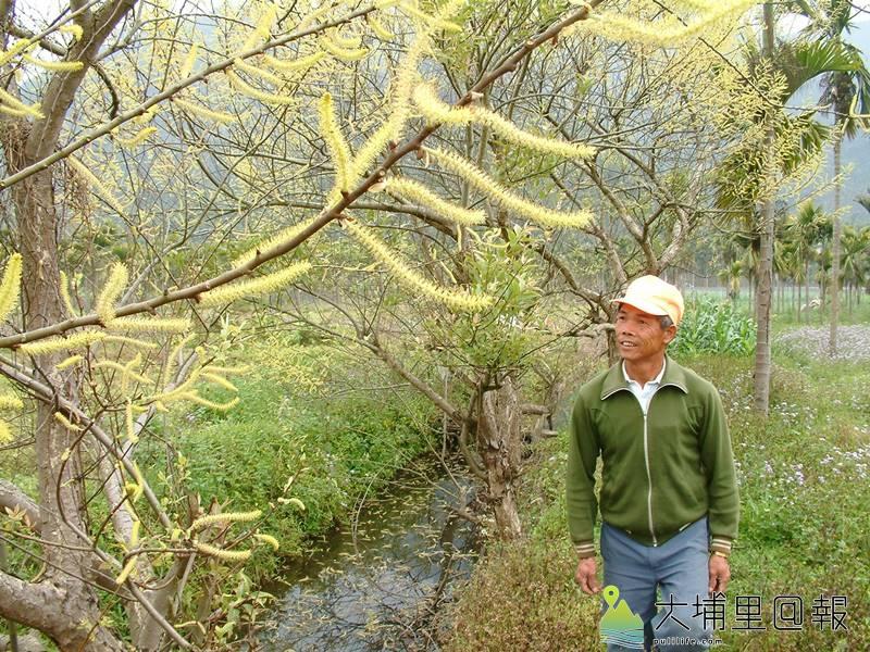 12月至隔年2月是水社柳開花時期,雄株的花苞吐出金黃色花穗,相當顯眼,所以又被稱為「金柳」。(柏原祥 攝)