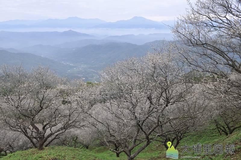 國姓鄉九份二山、金瓜山有多處隱藏版梅園,還可遠眺中央山脈山色。(柏原祥 攝)