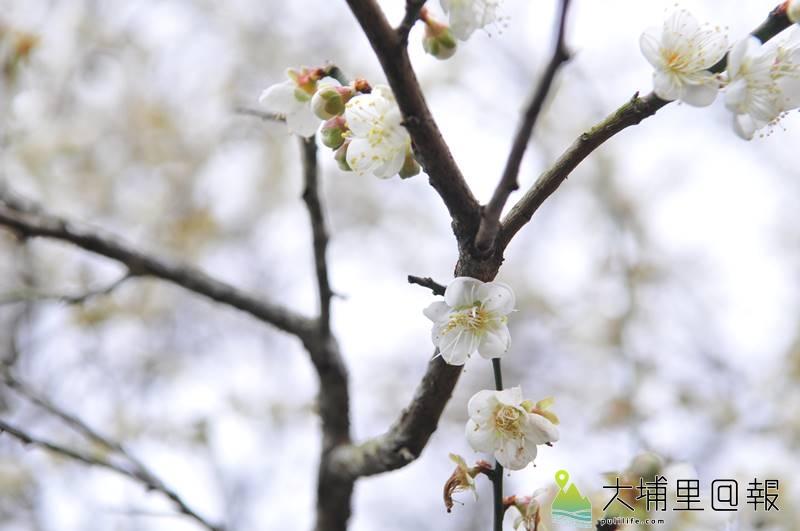 國姓鄉九份二山、金瓜山梅園梅花含苞待放,預計兩週內進入盛開期。(柏原祥 攝)