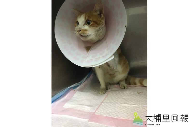 埔里鎮近日出現流浪貓咪被捕獸套索傷害的事件,傷勢嚴重,獸醫師為其動截肢手術。(圖/小芳提供)