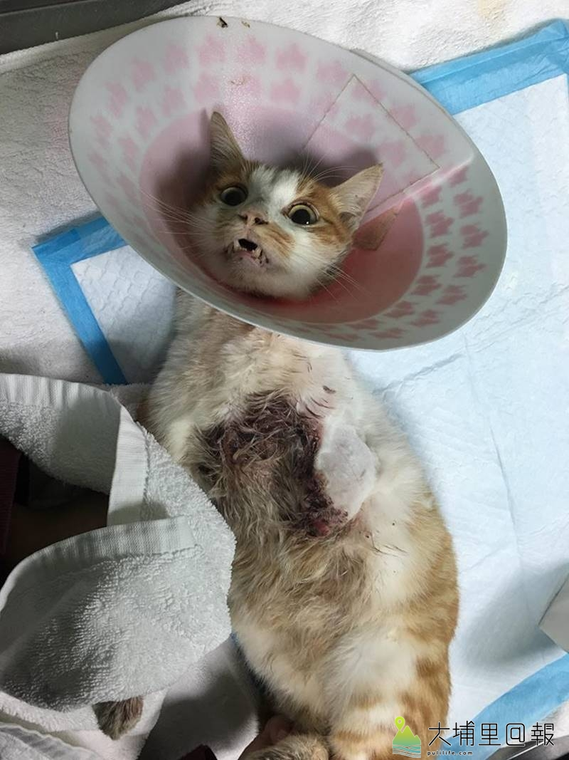 埔里鎮近日出現流浪貓咪被捕獸套索傷害事件,傷勢相當嚴重,前胸被鮮血浸濕。(圖/小芳提供)