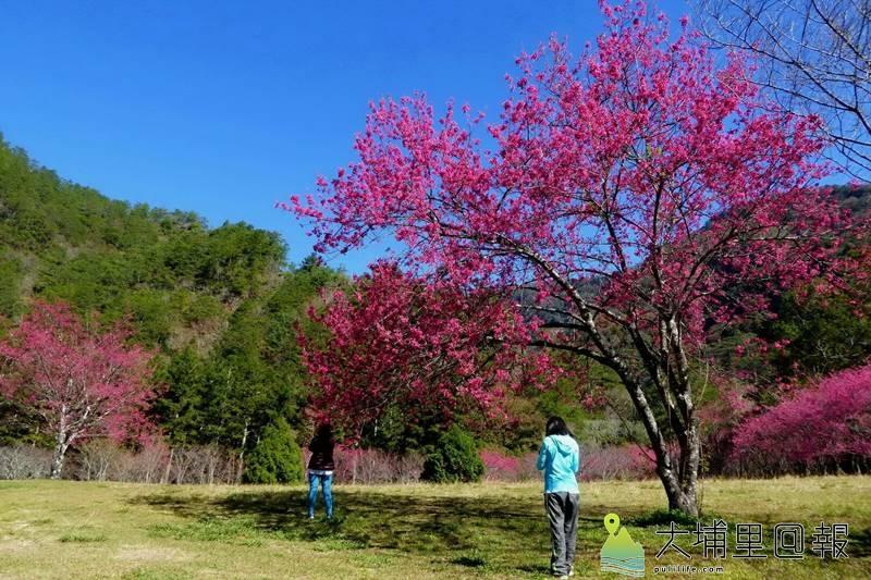 奧萬大森林遊樂區櫻花轉紅,帶來了春意,已有遊客趁著非假日上山賞花。(圖/南投林管處提供)