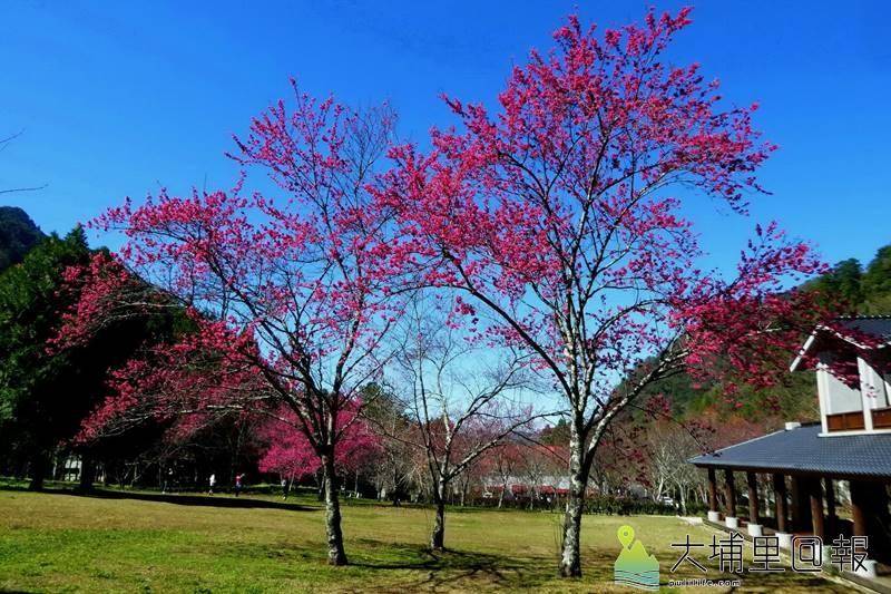 奧萬大森林遊樂區櫻花轉紅,帶來了春意。(圖/南投林管處提供)