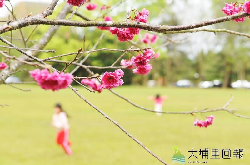 暨南大學櫻花盛開,最大的特色是有櫻花美景,也有寬闊的草皮讓孩子奔跑 。(柏原祥 攝)
