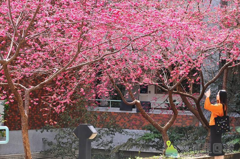 暨南大學櫻花盛開,吸引遊客前來拍照。(柏原祥 攝)