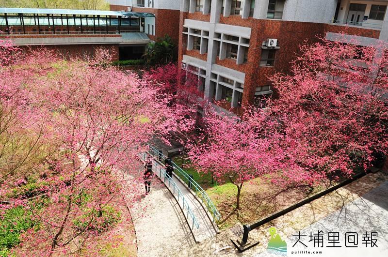 暨南大學櫻花盛開,尤其是人文學院中庭,景致非常宜人。(柏原祥 攝)