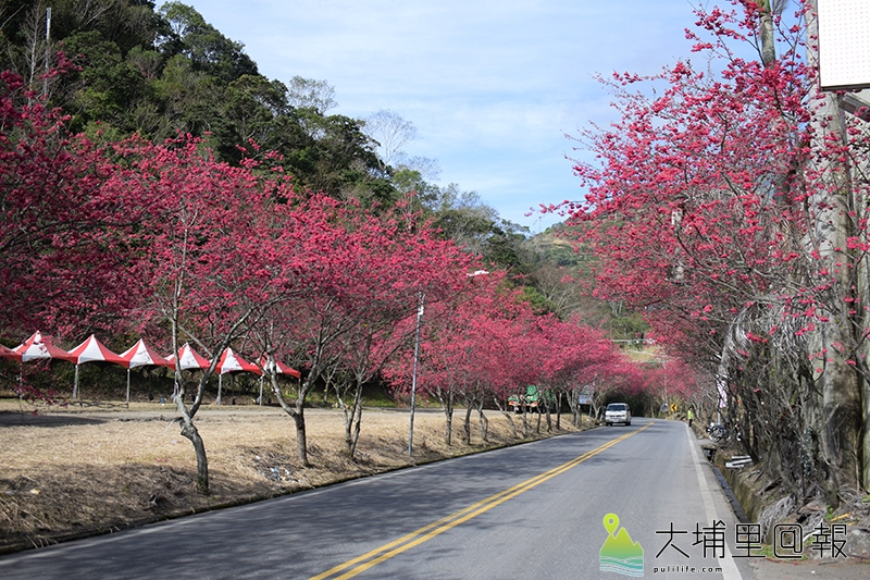 櫻花盛開的春陽部落