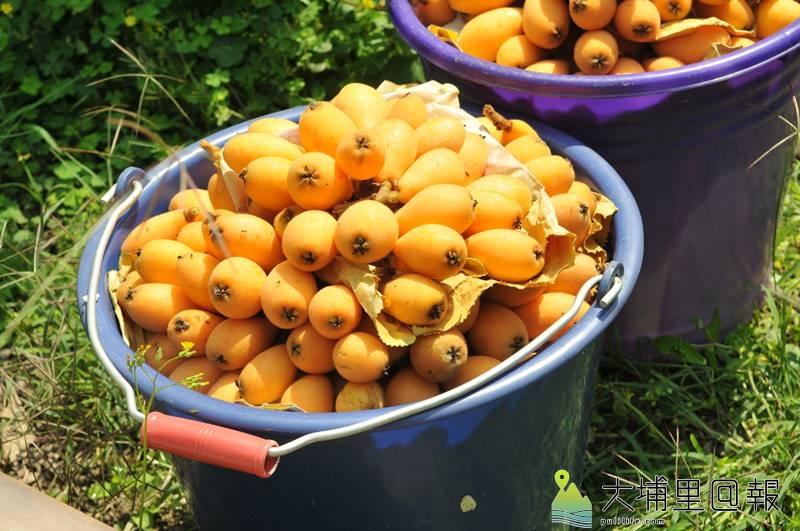 鹿茸採收的季節,國姓鄉的枇杷也成熟轉黃了。(柏原祥 攝)