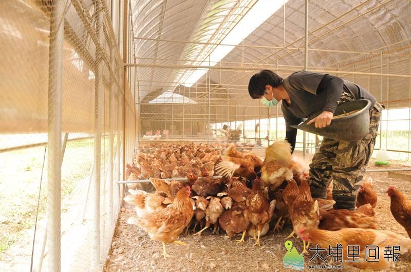 廖健棠等埔里青農打造的自然農業雞舍幾乎聞不到臭味,雞隻自在的奔跑成長。(柏原祥 攝)