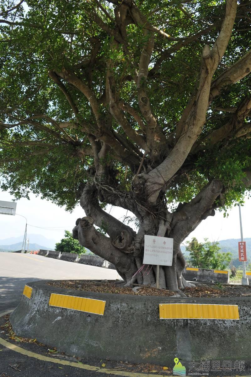 埔里金城武樹已是埔里喜愛慢跑、自行車鎮民注目的地標。(柏原祥 攝)