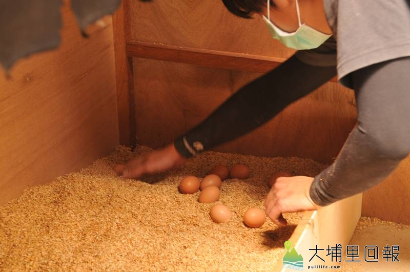 廖健棠等埔里青農打造的自然農業雞舍產蛋箱裡以米糠鋪床,因空間隱密,母雞喜歡來此下蛋,也因有了緩衝,不易破裂。(柏原祥 攝)