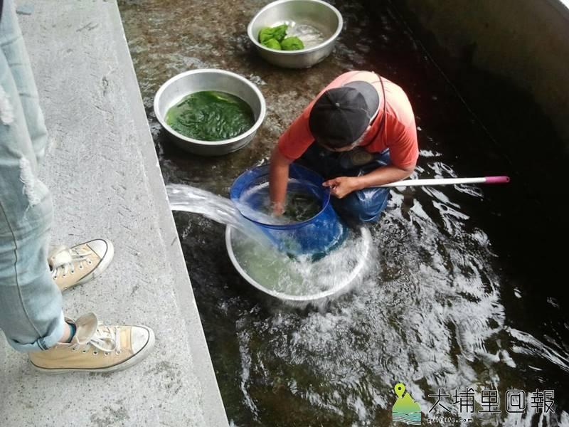 埔里地區平埔族群如噶哈巫、巴宰族群等會將青苔當成美食,但食材必須來自乾淨的水源,且要經過反覆淘洗,將沙土清除乾淨。(圖/守城社區理事長潘志孝提供)