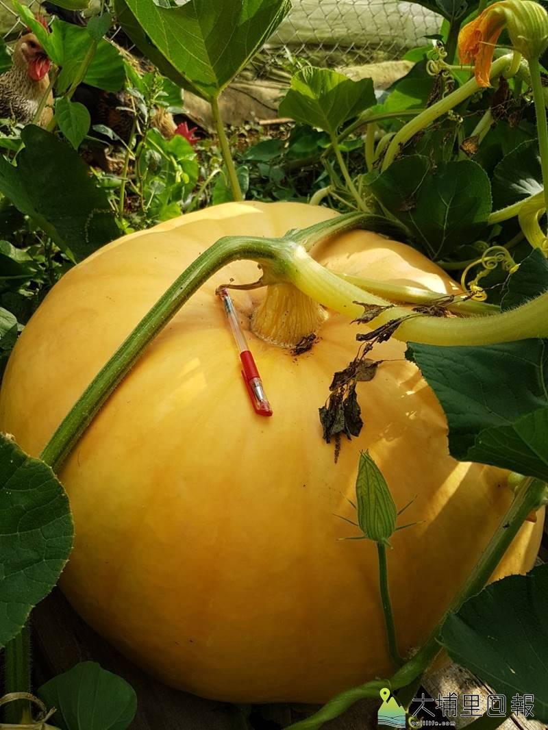 埔里鎮農會舉辦大南瓜競賽,在農友細心栽培下,南瓜可說是「一眠大一斤」。(圖/埔里鎮農會提供)