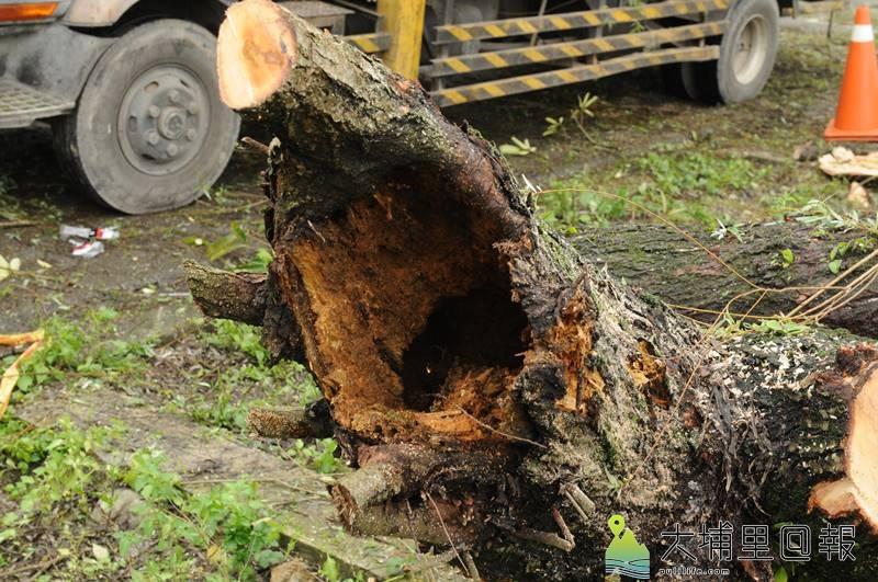 從先前南安路倒伏的柳樹斷面可明顯看到,樹心有明顯中空腐朽的現象。(柏原祥 攝)