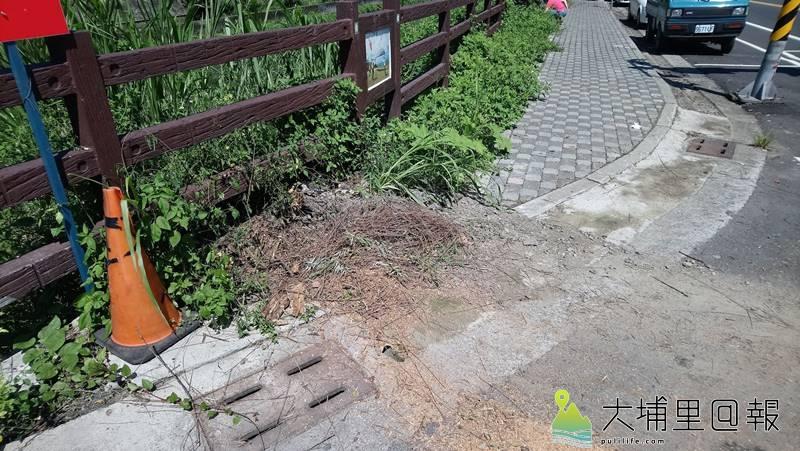 回到南安路、民生路橋頭柳樹倒伏的現場,可以發現原本的樹穴窄小,欠缺樹根呼吸的空間。(林佳穎 攝)