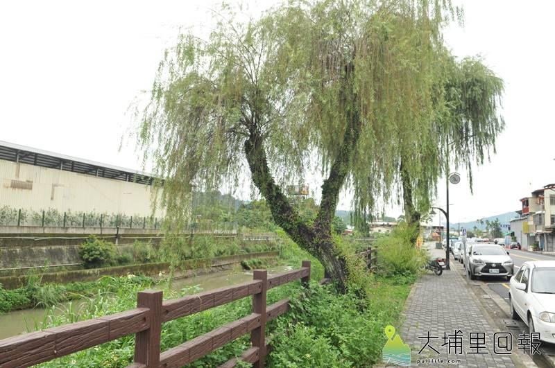 南安路原有10多棵柳樹,如今多數根爛倒伏,僅剩下兩棵。(柏原祥 攝)